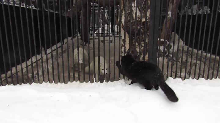 Даже песец напугался: чёрная кошка устроила охоту на полярных лисиц в зоопарке