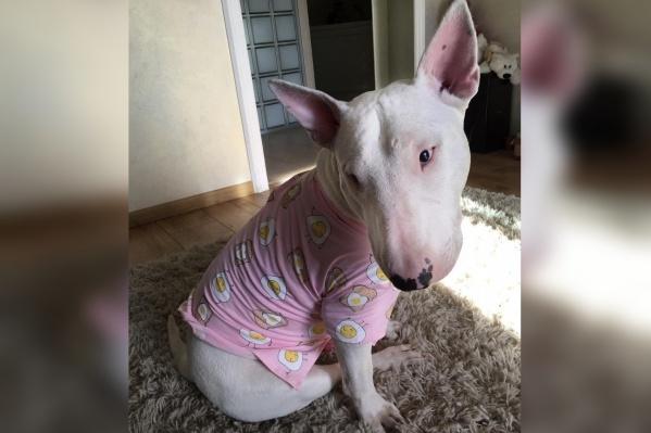 Собаке сделали операцию, но это не помогло