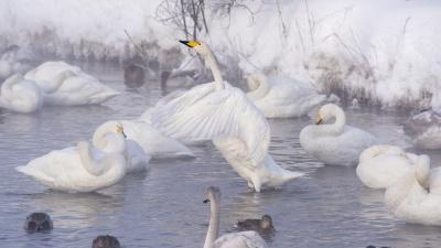 Изящные лебеди-кликуны на незамерзающем озере в Алтайском крае попали на снимки новосибирского фотографа