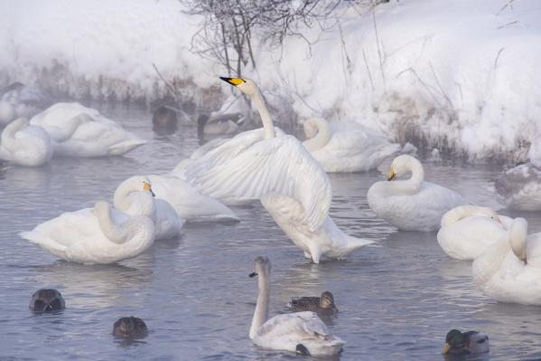Фотограф Алексей Парфёнов побывал на Лебедином озере в новогодние каникулы, когда посмотреть на белоснежных птиц съехалось множество туристов