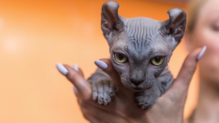 Вот это морды: котёнок-эльф покорил всех