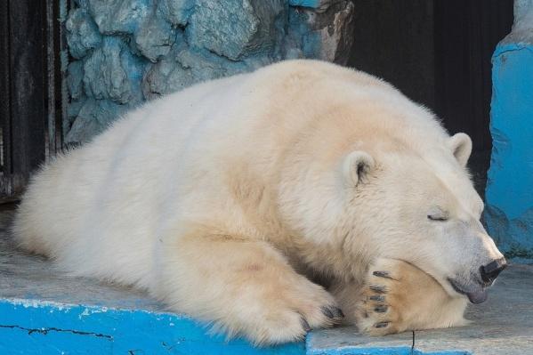 Собрать анализы у медведицы не получается, а её поведение не намекает на беременность