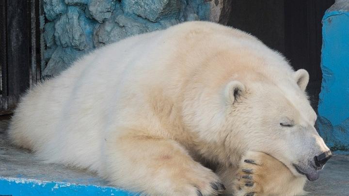 У зоологов тают надежды на беременность белой медведицы Авроры