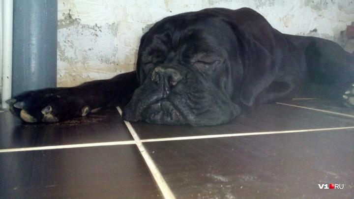 «Наша собака за ночь стала седой»: в Волгограде ветеринар загубила 11 неродившихся щенков
