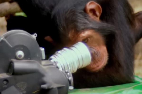 Интересно, что там видит человек? Именно зоолог Джейн Гудолл доказала всему человечеству, что шимпанзе очень похожи на людей