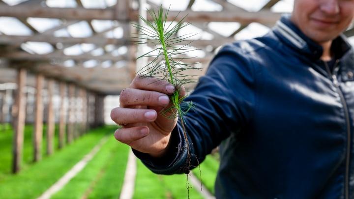 Теплица на миллион: смотрим, как за год тюменские лесники превращают семена в молодые сосны