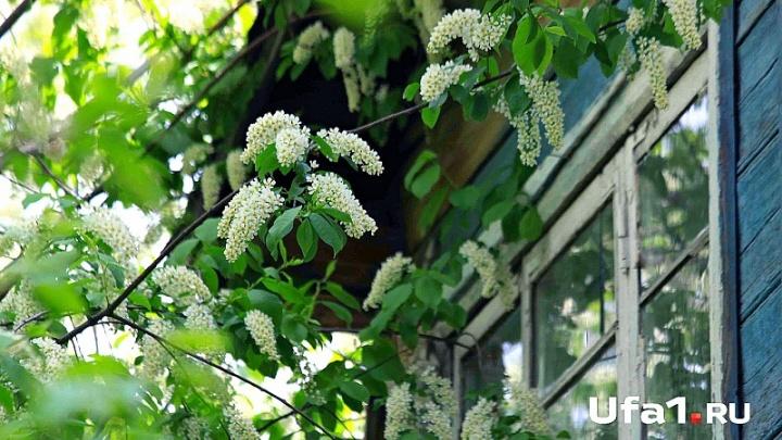 Жителей Уфы приглашают на посадку черёмухового сада