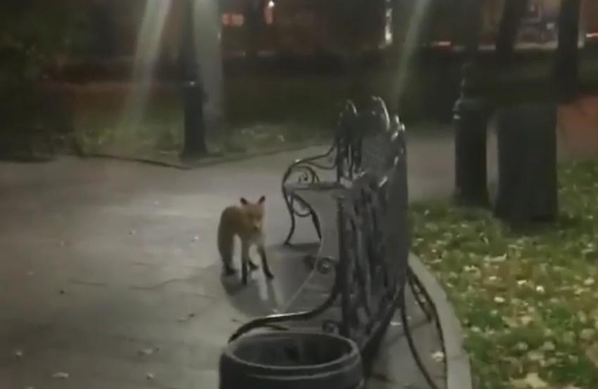 Скорее всего, лиса пришла в город в поисках еды