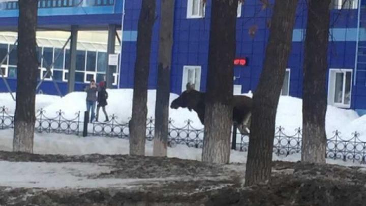 В Башкирии — нашествие лосей: уже во втором городе за три дня сохатый вышел в люди