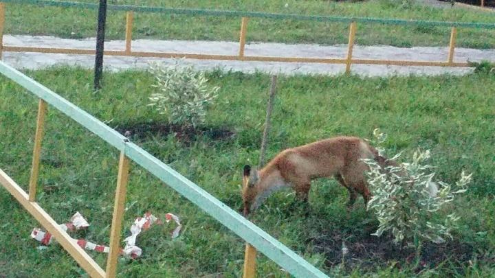Уфимцы просят защитить их от диких лис