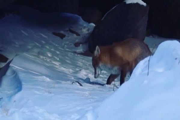 Лисичка рылась в снегу в поисках пищи
