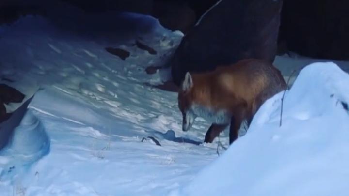 Видео: занятая поисками еды лиса попалась в объективы камер туристов на «Столбах»