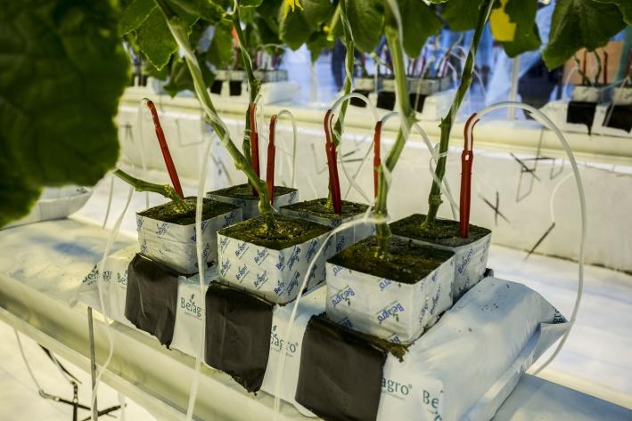 Овощи выращиваются методом так называемой гидропоники, когда все питательные вещества к ним попадают через специальный раствор