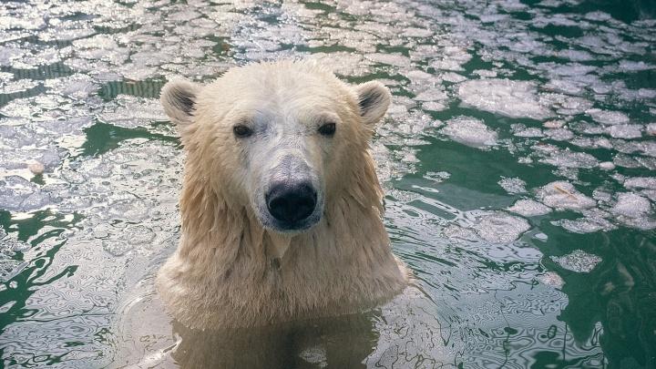Белые медведи в зоопарке открыли купальный сезон и сфотографировались с блаженными мордами