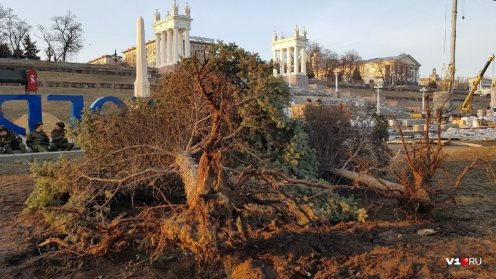 «Можете поставить им свечки»: выкопанным на набережной Волгограда елям вынесли смертный приговор