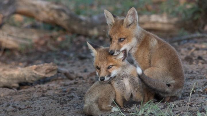 Игры весёлых лисичек: лисята из Волгограда снялись в праздничной фотосессии