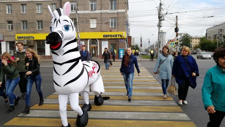 Автоинспекторы пояснили, зачем по проспекту Маркса три часа ходила зебра