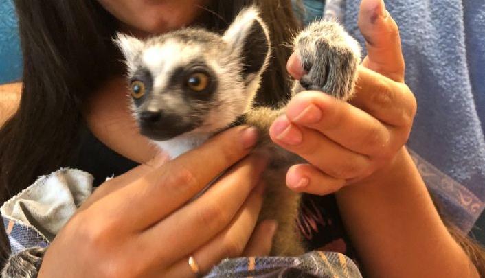В Красноярске продают лемура из Мадагаскара по цене подержанной иномарки