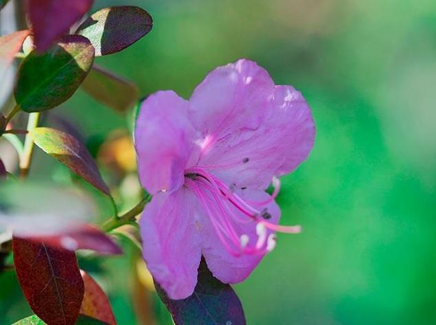 Багульник зацвёл на территории Ботанического сада в Академгородке