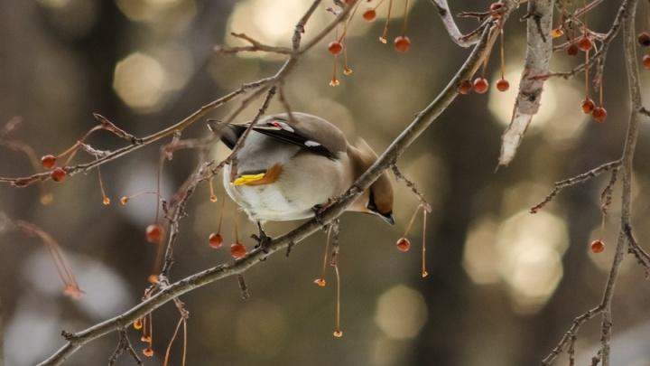 В Новосибирске начали останавливаться пролётные птицы с хохолком