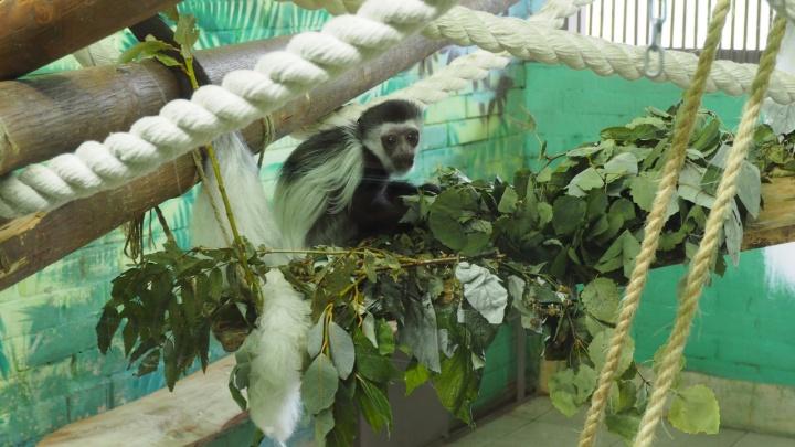 «Перед малышом тает даже суровый отец»: в зоопарке показали подросшего колобуса Мартина