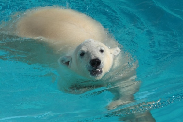 Айон, 10-летний белый мишка, будет ехать в Ростов три дня