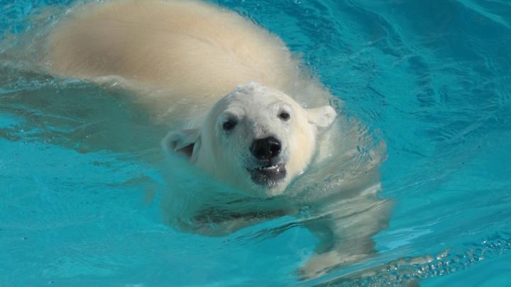 В ростовский зоопарк на год приедет белый медведь из Удмуртии