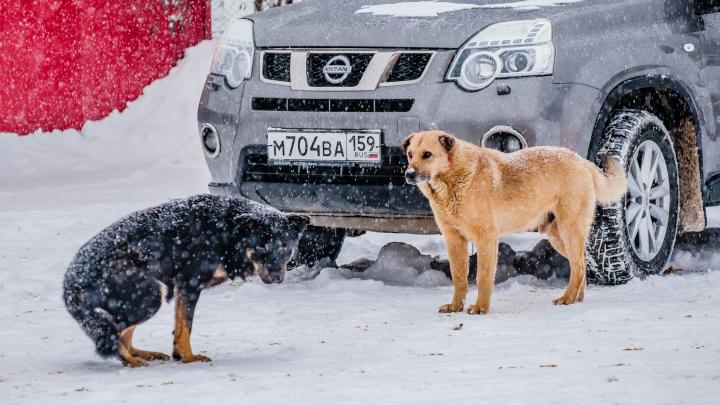Пермские учёные назвали районы, где больше всего бродячих собак