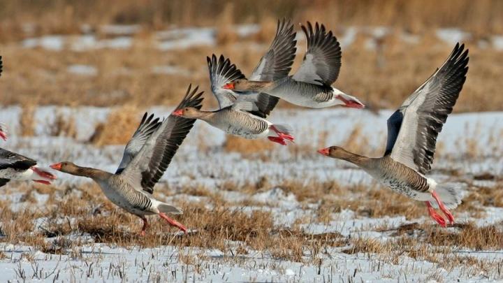 Власти Курганской области просят жителей посчитать диких гусей