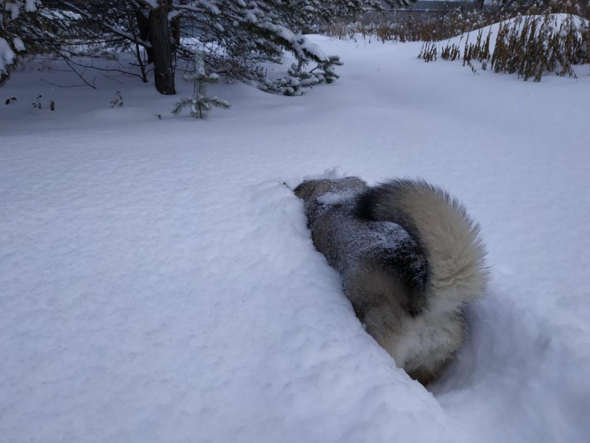 Лайки тоже снегу рады. ФотоКатерины Пигаревой