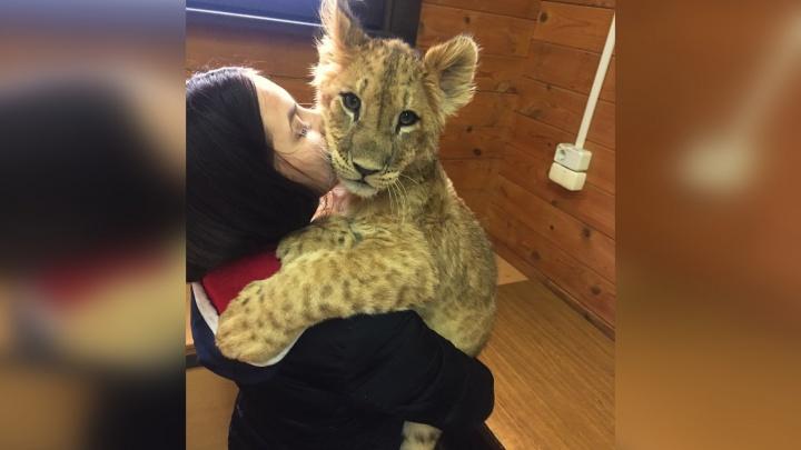 «Симба переехал от нас давно». Как сложилась судьба львёнка, жившего в квартире у пермской семьи