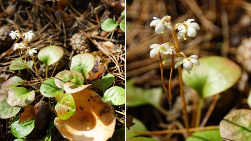В заповеднике на юге повторно расцвел майский цветок