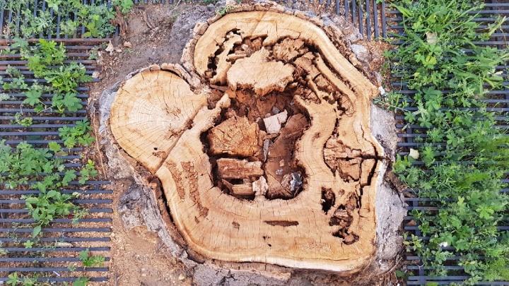«Поражение — 40%»: Центр защиты леса объяснил, что убило деревья на Комсомольской в Волгограде