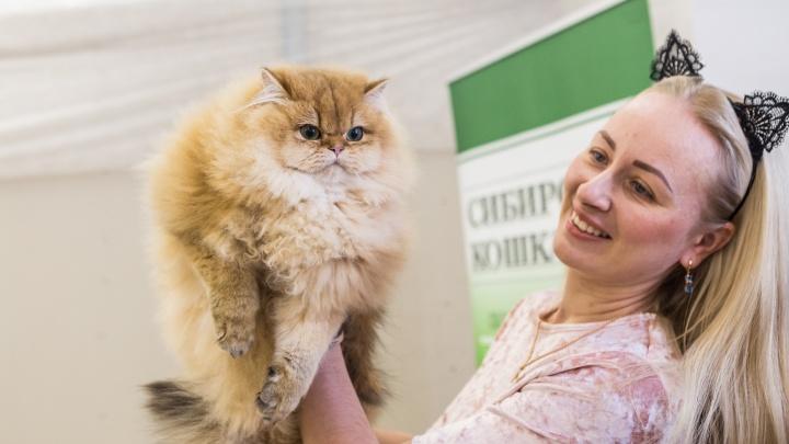 Морды-плюшечки: сотня лучших котиков Новосибирска сразились за золотой титул