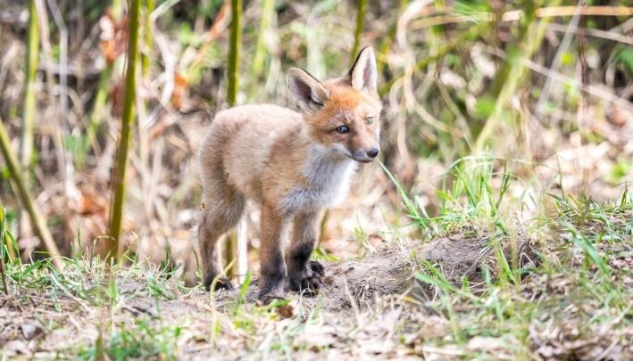 У лис на острове появилось потомство: мама-лиса вывела малышей на прогулку