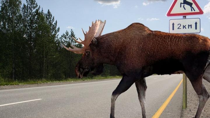 Дорожники рассказали, где на Урале дикие животные бросаются под колеса автомобилей: карта