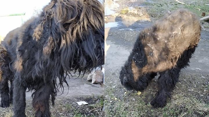 Зоозащитники нашли на свалке породистую собаку и не хотят возвращать её хозяину