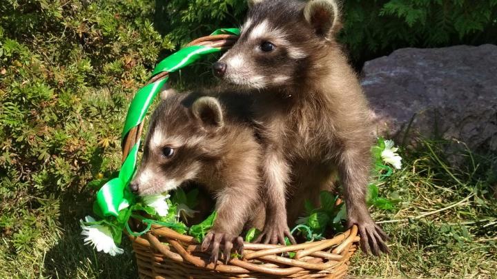 В Самарском зоопарке покажут малышей знаменитой пары енотов Лизы и Матроскина