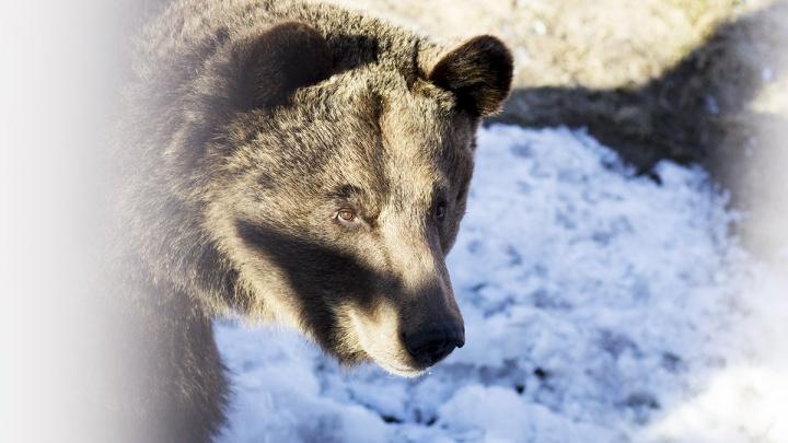 В ярославских лесах стало больше бобров и медведей