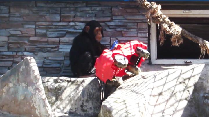 Новая игрушка: в вольере шимпанзе Фили и Люси появилась большая красная машина