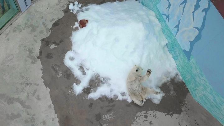 Аяна кайфует. В нижегородском зоопарке выпал снег специально для белой медведицы