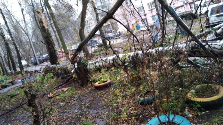 «Хорошо, что не в окна»: в Ярославле во дворе обрушилась крупная береза