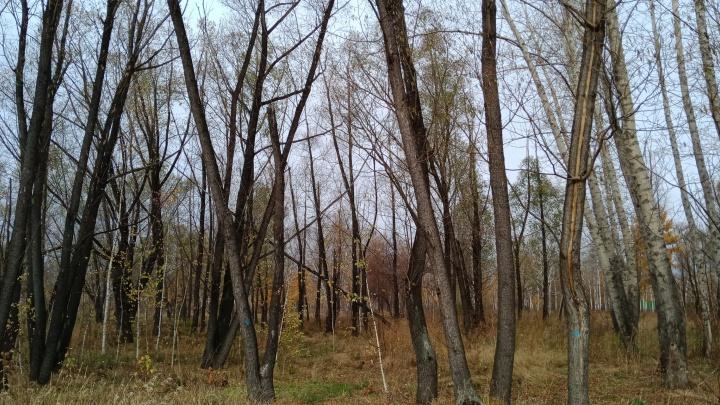 В главном омском парке предложили срубить 88 деревьев