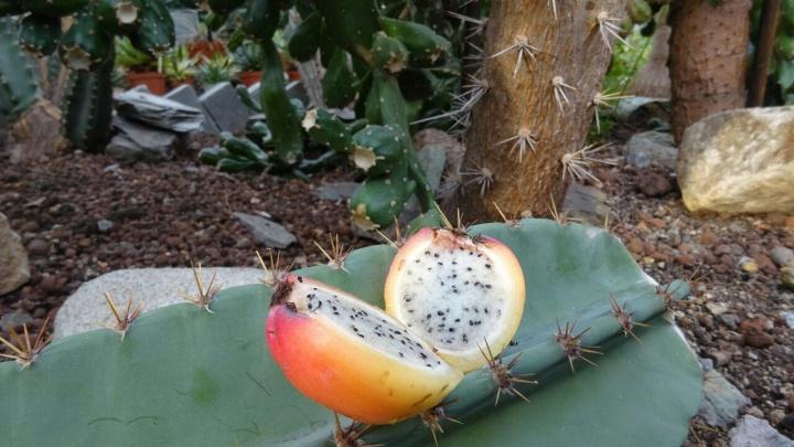 В Ботаническом саду Екатеринбурга созрели плоды, которые выросли на огромном кактусе из Перу