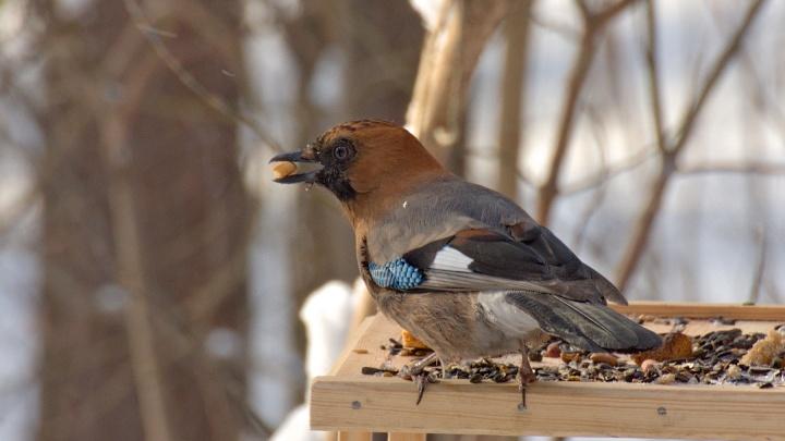 В Новосибирске заметили небольших птиц, которые любят есть сало