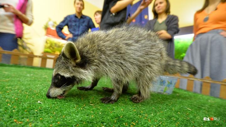 Екатеринбургский контактный зоопарк устроил распродажу живых енотов из-за финансовых проблем