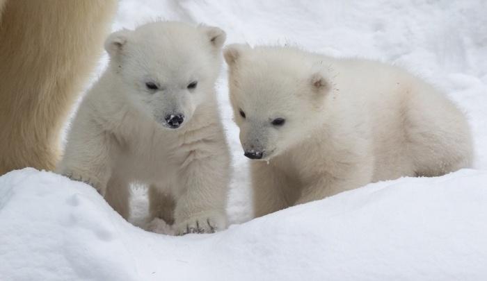 Белым медвежатам в Новосибирском зоопарке выбрали имена