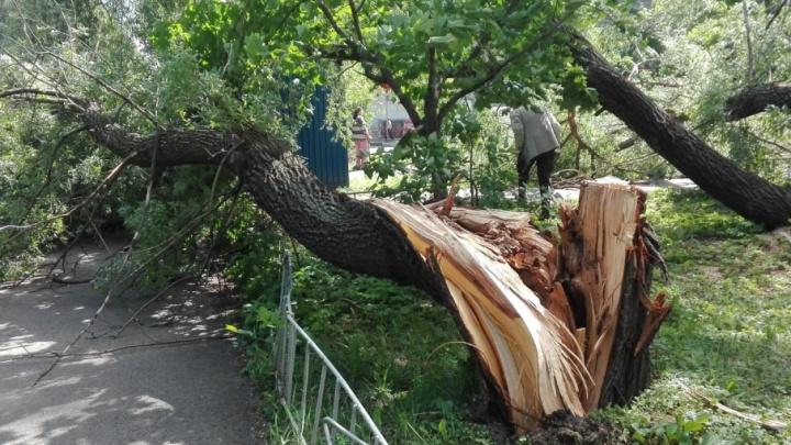 В центре Ярославля тополь рухнул на тротуар