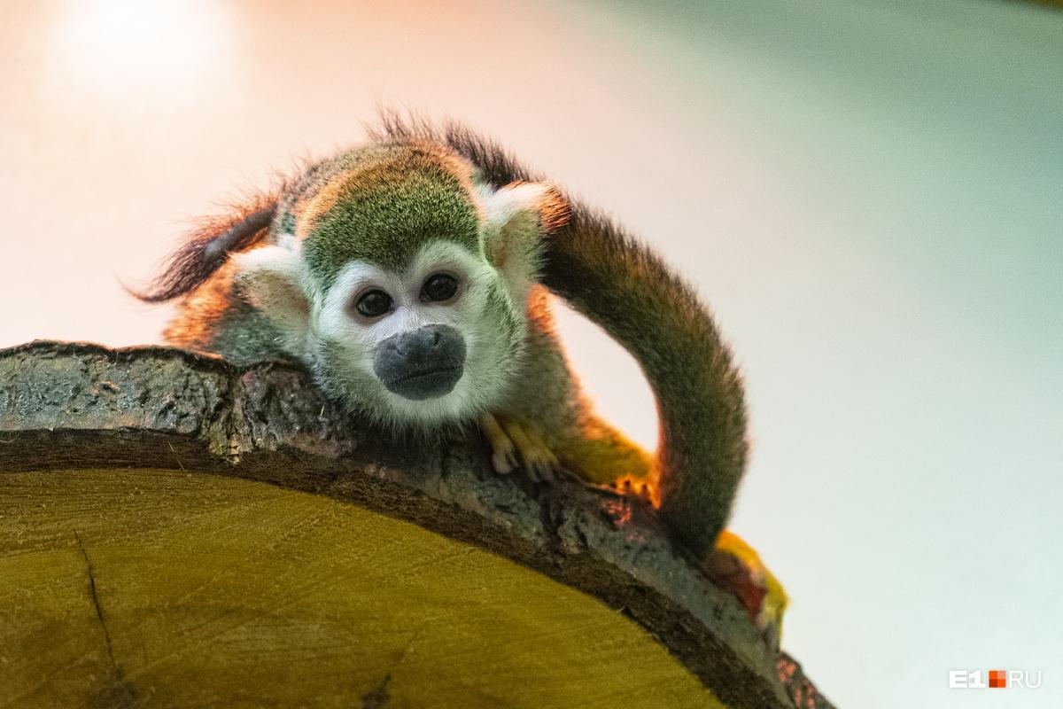А еще обезьяна полюбила зелень, которую раньше не ела