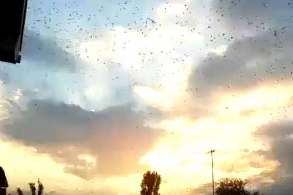 Небо из-за саранчи стало «рябым»